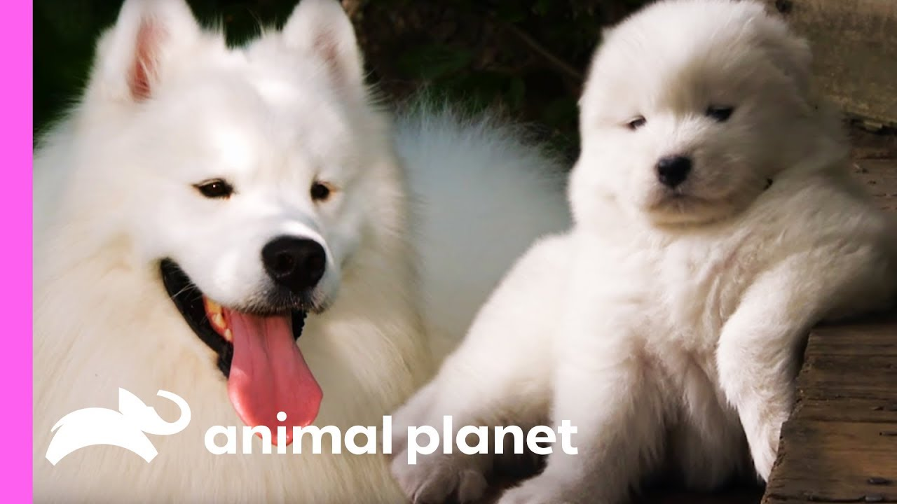 Fussy Samoyed Puppy Makes An Unlikely New Best Friend Too Cute