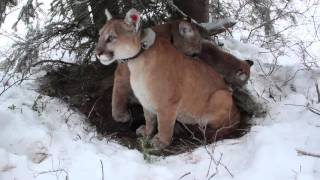 Secret Life of Mountain Lions