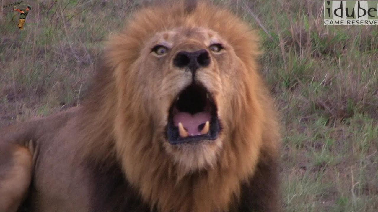 Lion: ROAR! - YouTube - photo#25