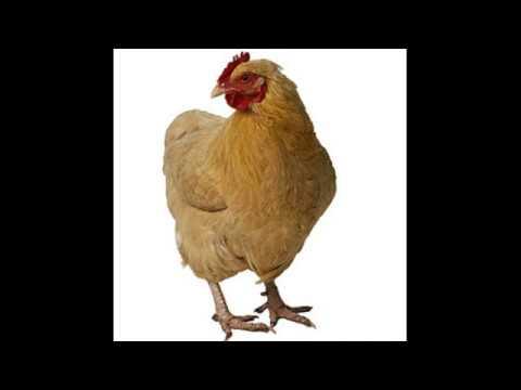 Download Chicken Sound Effects