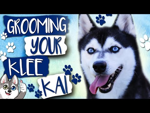 Grooming the Alaskan Klee Kai | Must have tools for grooming a Klee Kai Dog