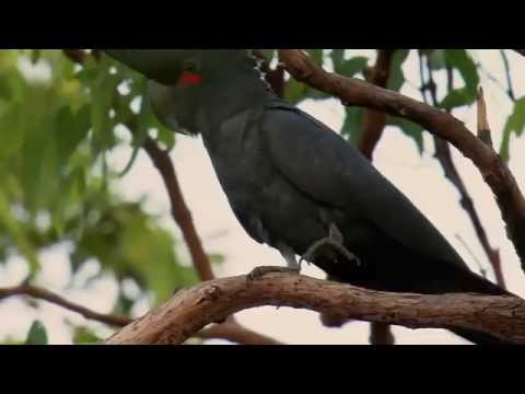 PARROTS IN THE LAND OF OZ - (Documentary NGW)
