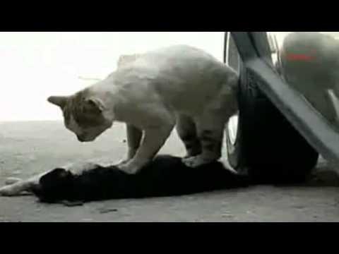 Hier gibt eine Katze Herzmassage.flv