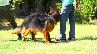 Long Haired German Shepherd Breeder | Ghangas Kennel | Dog Breeder In Amritsar | Scoobers