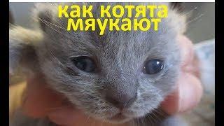 как котята мяукают