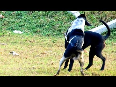 wow-dogs!-kelpie-and-halden-hound-dog-life-in-countryside-after-meeting-life-of-dog-life
