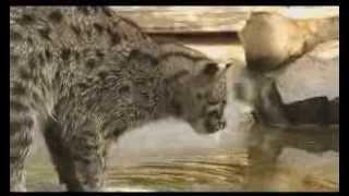 Ныряющий за рыбой кот