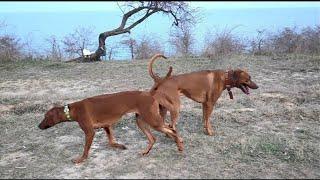 Родезийский риджбек. Скоро щенки. Rhodesian Ridgeback. Soon puppies.
