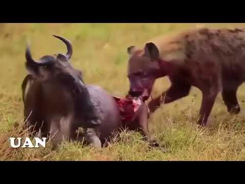 Animales Salvajes Cazando En áfrica Espectacular Ver La Agilidad Con Que Atacan Youtube