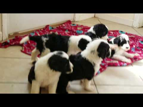 Sheepadoodle Puppies For Sale Prairie Hill Puppies