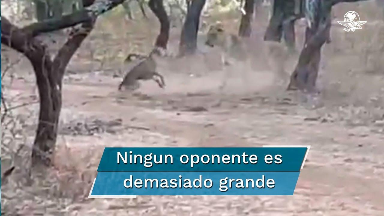 Captan en video pelea entre un perro callejero y una leona durante safari en India - download from YouTube for free