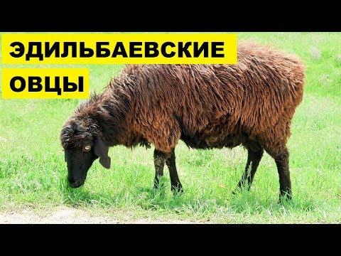 Вопрос: Овцы какой породы являются самыми маленькими?