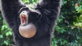 Siamang Gibbons 02 -  howling and performance