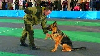 Служебные Собаки. Дрессировка Собак. Служебные Собаки Видео. Команды для Собак