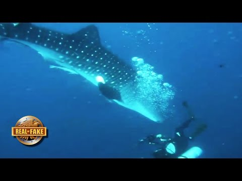 WHALE SHARK ATTACKS DIVER - real or fake?