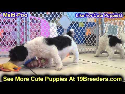 Malti Poo, Puppies, For, Sale, In, East Honolulu, Hawaii, HI, Makaha, Pukalani, Haiku Pauwela, Maili
