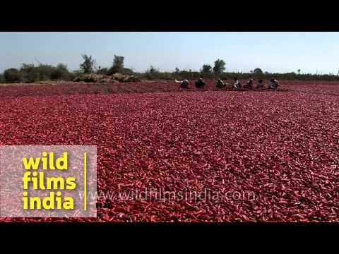 Red chillies drying in the sun, Gujarat