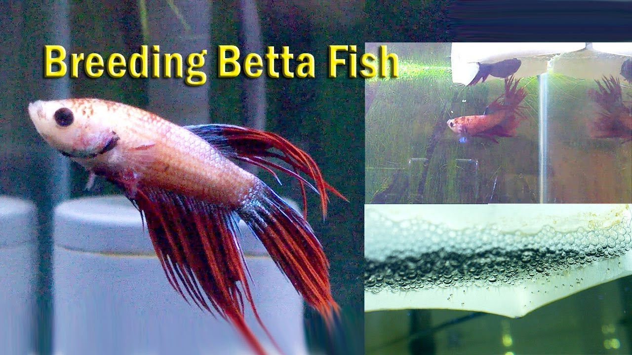 Simple DIY Feeder Fish Breeding Setup & Care Guide ...