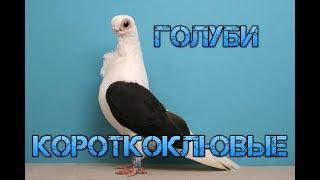 Короткоклювые породы голубей. | Голуби России