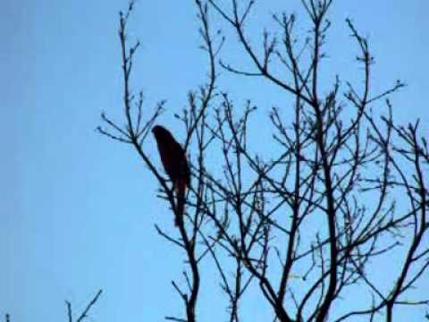 Cardinal mating song