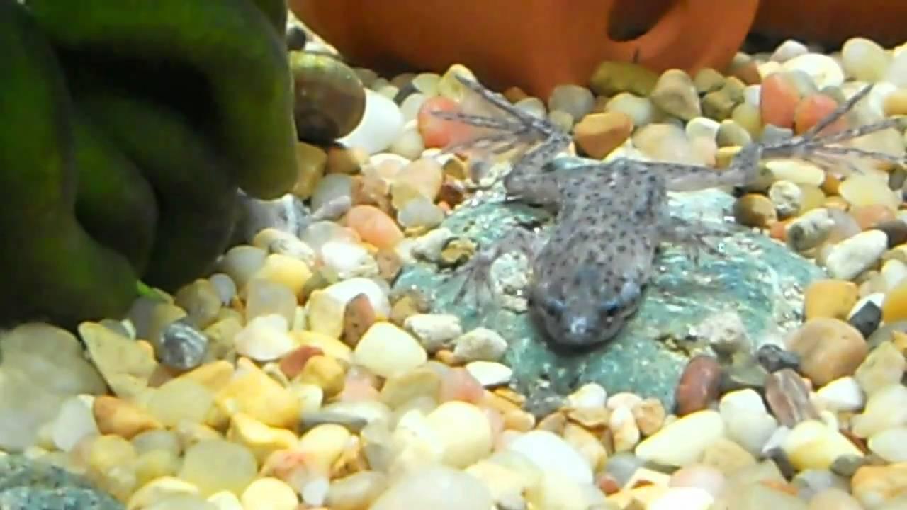 Male African Dwarf Frog Feeding Youtube