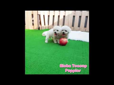 Mini Teacup Bichon Puppies For Sale [Mango&Tango] - Bichon Frise Puppy
