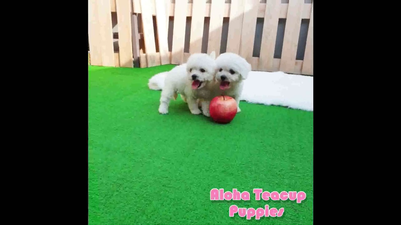 Bichon Frise Puppies for Sale from Reputable Dog Breeders