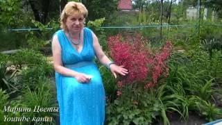 видео Цветок гейхера – посадка и уход; фото гейхеры, выращивание гейхеры и сорта