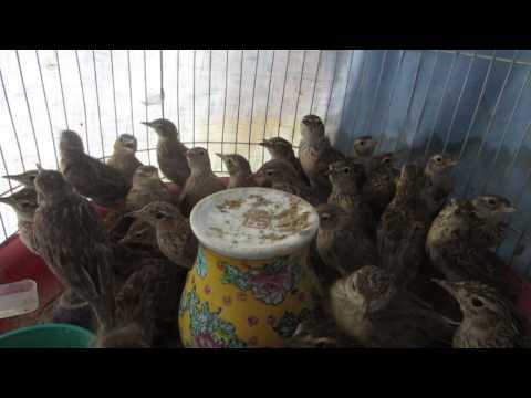 Bán chim Sơn Ca - Web http://banchim.vn - Chuyên mua bán chim cảnh