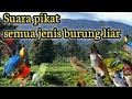 Suara Pikat Burung Sapujagat  Mp3 - Mp4 Download