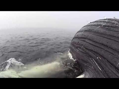 Big Female White Shark Tearing Chunks Off Carcass Of Scarlett The Whale