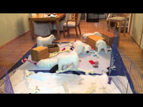 Arctic Diamond Samoyeds: Puppy Whirlwind!