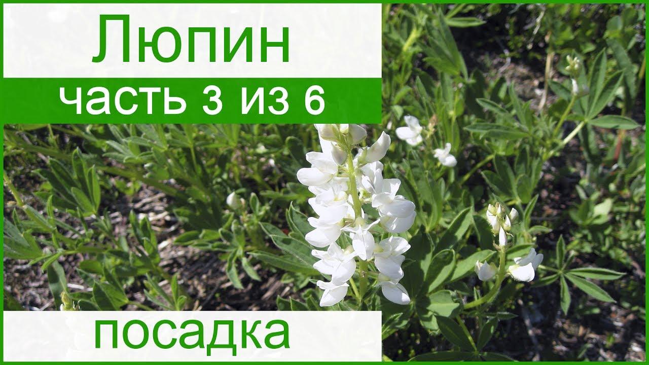 Люпины - выращивание из семян, когда сажать 77