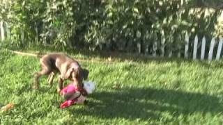 Magoo Red Doberman Puppy For Sale Carries A Mouse All Over The Yard