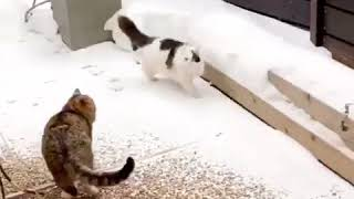Когда в доме две кошки.