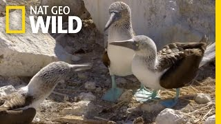 The Blue-Footed Booby Dance   Destination WILD