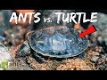 I Gave My Pet Ants a Turtle