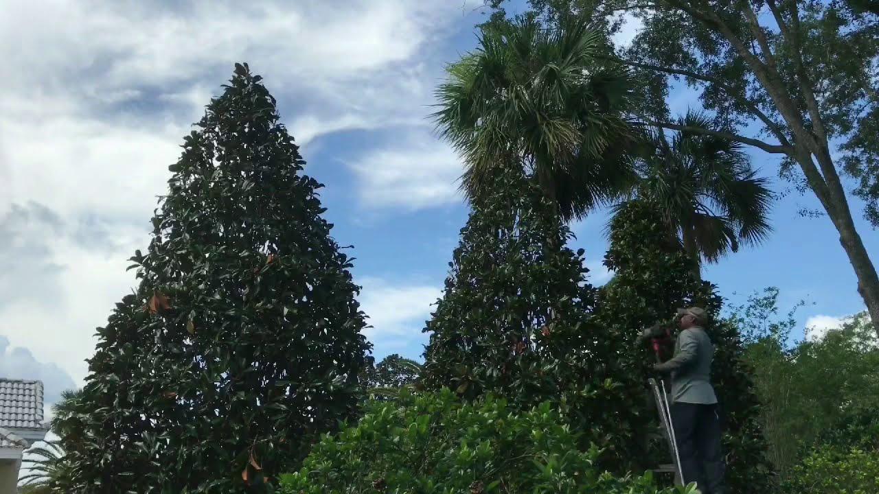 Trimming Magnolia Trees Youtube
