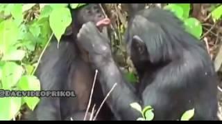 Смешные  2  обезьяны