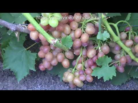 Сорта винограда Розовая ультра 2017
