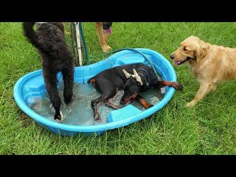 Houston dog training | 6 month old Doberman Pinscher puppy, Ace