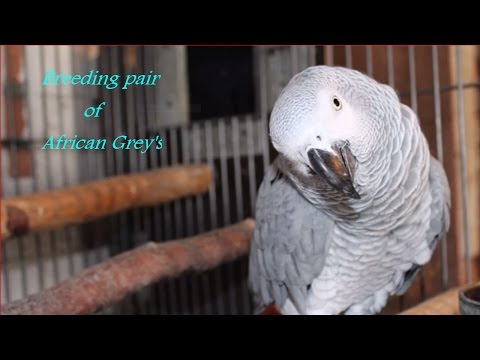 Breeding pair of African grey