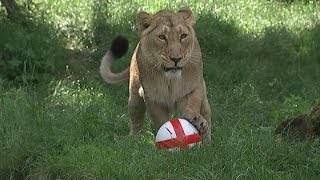 2014 World Cup: Three lions show off ball skills at London Zoo