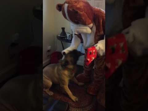 Bullmastiff loves SantaPaws
