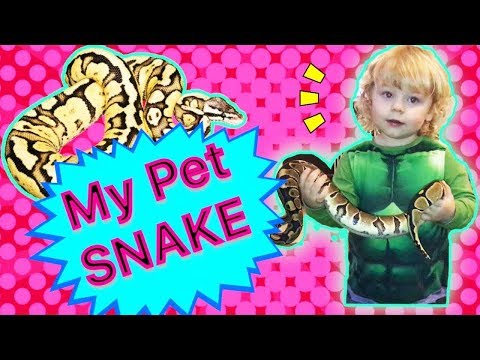 PET SNAKE VIDEO    ROYAL PYTHON