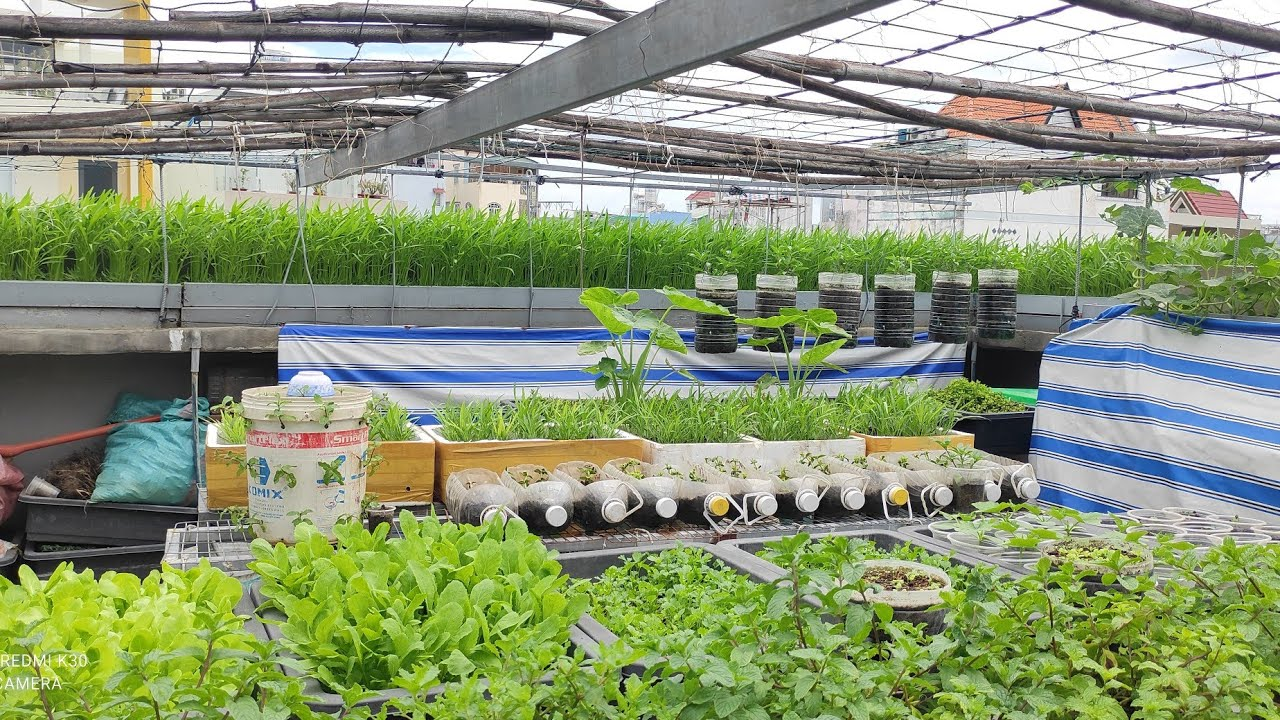 Vườn Rau Cải các loại trên sân thượng 90m2  | Khoa Hien 420