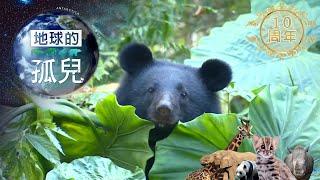 (網路搶先版)地球的孤兒系列Orphans of the Earth /台灣黑熊生存保衛戰 Saving Formosan Black Bears-台灣1001個故事-20190505【全集】