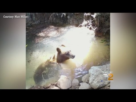 Bears Cool Off In California