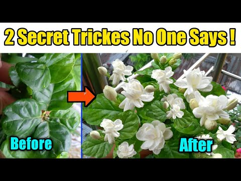 Download 2 Most Effective Tricks to get MAXIMUM Flowers on Arabian Jasmine Plant/Get Maximum Jasmine flowers