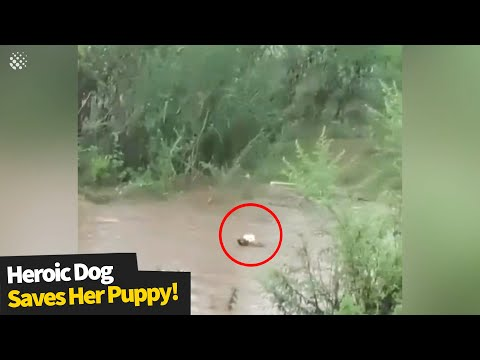 Heroic Mother dog jumps into floodwater to save her puppy | Hero Dogs